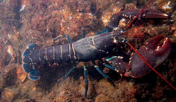 Full hummerfiskare friades från sjöfylleri