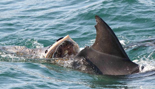 TV: Här kör motorbåtarna rakt in i delfinflocken